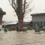 golubovibascarsije
